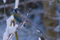 Blue Tit in Winter Snow